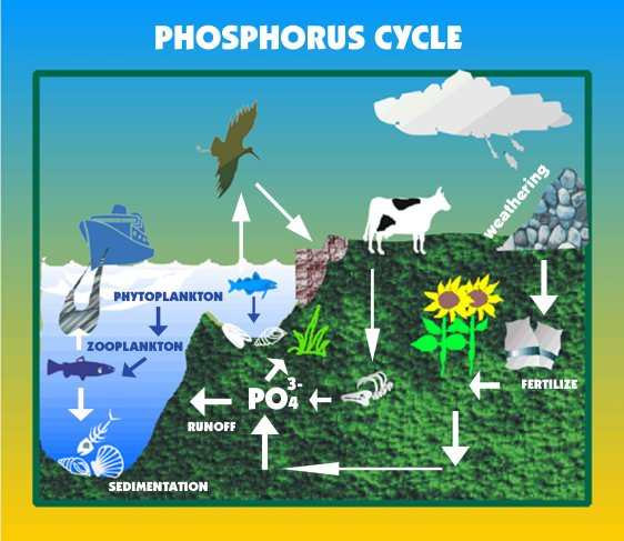 Deficiency Of Phosphorus. Figure 3.5 Phosphorus cycle